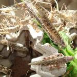 Wüstenheuschrecken groß Aufbewahrung vor dem Verkauf
