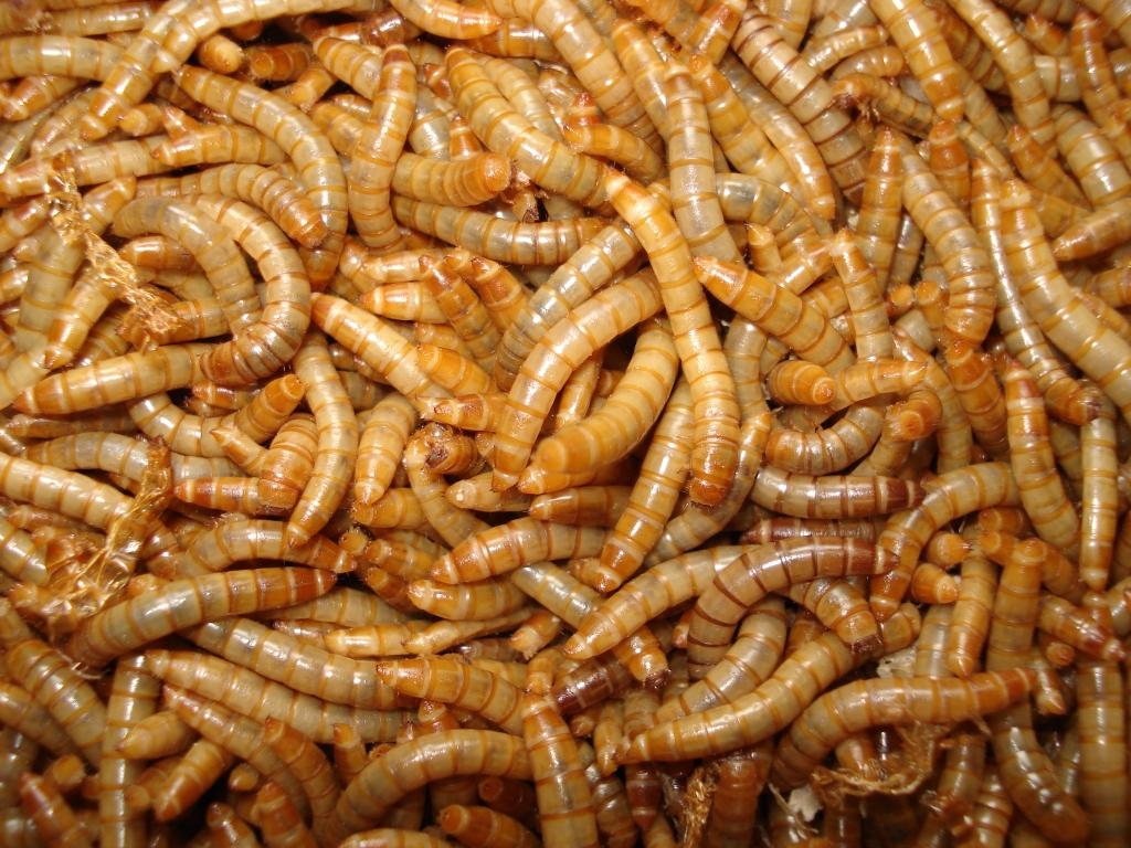 Mehlwürmer Züchten Für Wildvögel