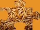 Mehlwürmer groß